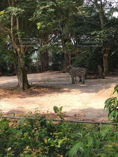 動物,森林,屋外,樹木,シンガポール,立つ,地面,動物園,日陰,Zoo,汚れ,草木,日中,シマウマ