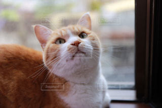 カメラを見ている猫の写真・画像素材[2714310]