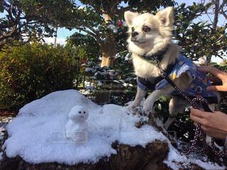 犬,動物,雪,屋外,樹木,雪だるま,春よこい