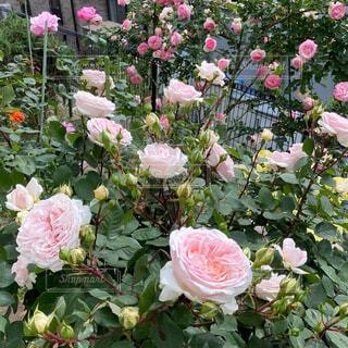 花,庭,屋外,ピンク,バラ,花びら,薔薇,ローズ,草木,ローズガーデン,ガーデン,一年草,ピエールドロンサール,フロリバンダ,常緑のバラ,メルツェンツバウアー