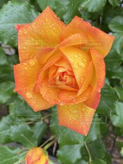 花,雨,水滴,バラ,葉,花びら,オレンジ,薔薇,露,ローズ,草木,サハラ,フローラ,ハイブリッドティーローズ