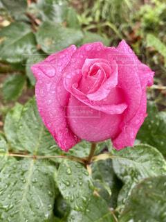 自然,花,雨,ピンク,水滴,バラ,花びら,薔薇,露,ローズ,草木,フローラ,桃香,ハイブリッドティーローズ