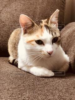 猫,動物,屋内,白,かわいい,景色,子猫,座る,ソファ,ネコ科