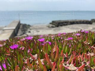 空,花,屋外,ビーチ,草木,バクヤギク