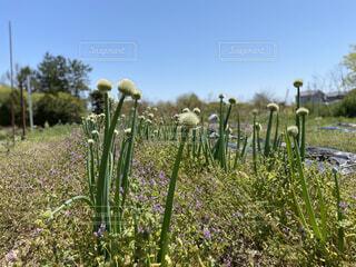 自然,風景,空,花,屋外,草,樹木,草木,ワイルドフラワー,フローラ,広葉,ネギぼうず