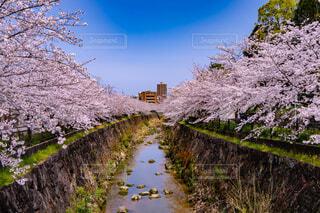 自然,空,花,春,屋外,水面,樹木,お花見,桜の花,さくら,ブルーム,ブロッサム,山崎川