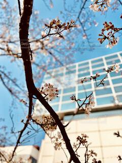 空,花,桜,屋外,青空,樹木,腰掛け,ブロッサム