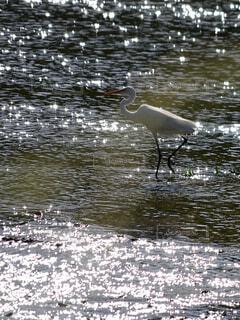 動物,鳥,屋外,湖,水面,野鳥,サギ,水鳥,ダイサギ,天白川