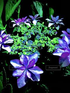 花,あじさい,紫,紫陽花,草木,アジサイ,フローラ