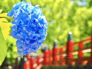 風景,花,植物,あじさい,青,紫陽花,福岡,太宰府天満宮