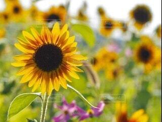 風景,花,夏,ひまわり,黄色,向日葵,ひまわり畑,福岡,summer,夏空,sunflower,動画,movie,レンズボール