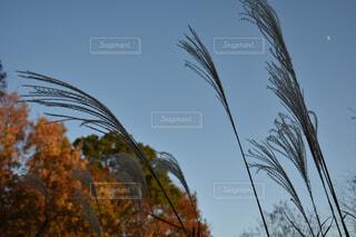 空,秋,屋外,樹木,ススキ,草木