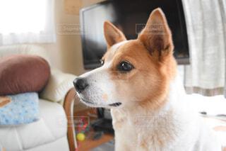 犬,動物,屋内,窓,座る,探す