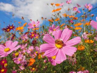 花,コスモス,カラー,草木