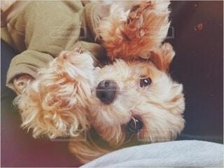 犬,かわいい,可愛い,あまちゃん,甘えん坊,マルプー,甘えんぼ,小太郎
