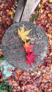 秋,葉,カエデ,カエデの葉,シルバーメープル