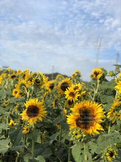自然,花,夏,太陽,植物,ひまわり,青空,田舎,向日葵,ひまわり畑,畑,向日葵畑