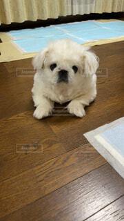 犬,動物,屋内,白,かわいい,床,プードル,テリア,おもちゃの犬,コトン・ド・テュレアール