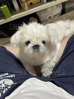 犬,動物,屋内,白,かわいい,景色,人物,人,子犬