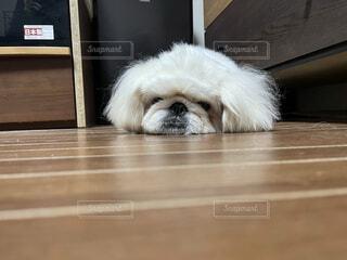犬,動物,屋内,白,床