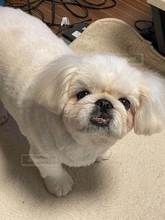 犬,動物,屋内,白,かわいい,床