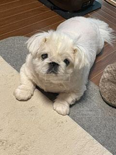 犬,動物,屋内,白,かわいい,景色,床,子犬