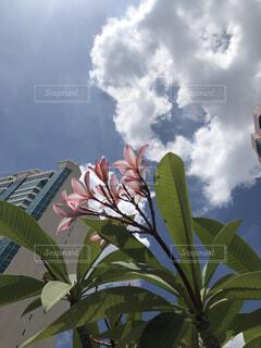 空,建物,花,屋内,屋外,南国,花束,雲,晴れ,青空,晴天,樹木,高層ビル,トロピカル,晴,プルメリア,草木,フローラ