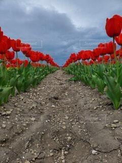 自然,花,赤,綺麗,チューリップ,赤色