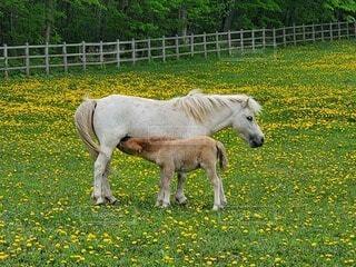 動物,屋外,緑,かわいい,親子,牧場,景色,草,馬,子馬