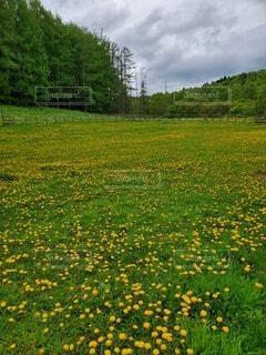 自然,風景,公園,花,屋外,緑,草,樹木,草木,タンポポ,黄色いじゅうたん