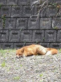 動物,屋外,茶色,キツネ,狐,きつね