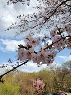 空,花,春,屋外,樹木,草木,桜の花,さくら,ブルーム,ブロッサム