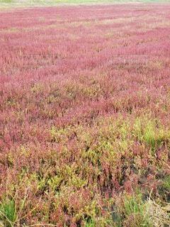 自然,風景,公園,花,屋外,草,赤いじゅうたん,珊瑚草