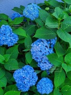 花,屋外,緑,あじさい,紫陽花,草木,ガーデン,フローラ