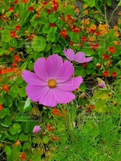 花,秋,屋外,コスモス,草,秋桜,草木,フローラ