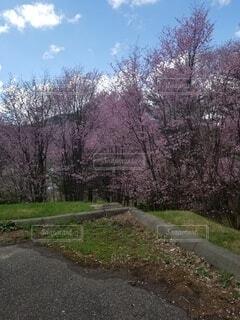 桜,屋外,景色,樹木,草木
