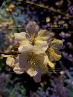 花,桜,夜桜,景色,風情,草木,ブルーム,フローラ