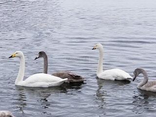 風景,動物,鳥,屋外,湖,水面,泳ぐ,スワン,白鳥,水鳥,水の鳥