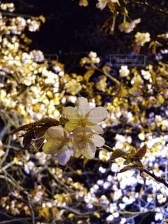 花,春,桜,景観,草木,ブロッサム