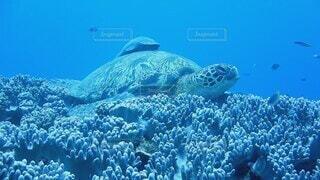 動物,魚,屋外,水族館,水面,葉,泳ぐ,水中,カメ,ウミガメ,ダイビング,コーラル,海洋無脊椎動物,海洋生物学