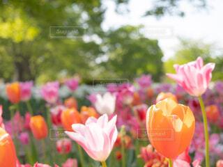 花,春,カラフル,チューリップ,樹木,カラー,草木
