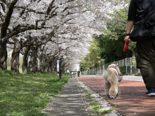 犬,公園,花,春,桜,屋外,散歩,日常,草,樹木,人物,人,歩道,通り,消火栓