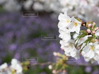 花,春,桜,白,草木,ブルーム,ブロッサム,フローラ