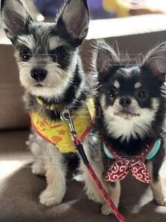 犬,チワワ,仲良し,室内犬,小型犬,ミックス犬,チワシュナ