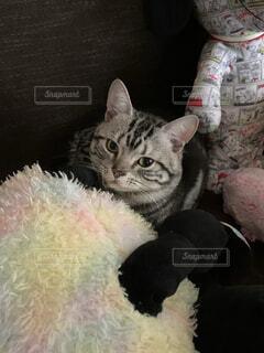 猫,動物,屋内,ぬいぐるみ,子猫,あったかい,見つめてる