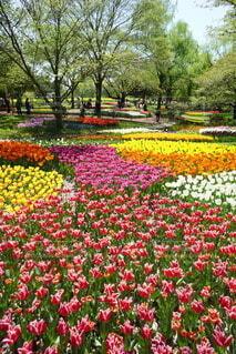 花,春,屋外,カラフル,景色,チューリップ,樹木