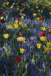 花,春,屋外,カラフル,チューリップ,ムスカリ