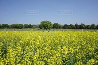空,花,春,屋外,黄色,菜の花,景色,樹木,菜種