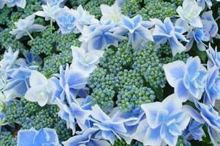自然,花,雨,植物,あじさい,紫陽花,初夏,梅雨,こんぺいとう,草木,アジサイ,ガーデン,青い紫陽花