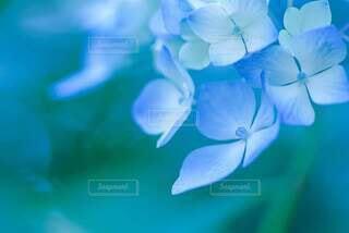 花,雨,植物,あじさい,紫陽花,初夏,梅雨,草木,アジサイ,青い紫陽花